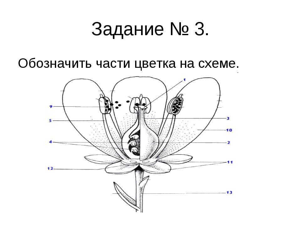 Задание № 3. Обозначить части цветка на схеме.