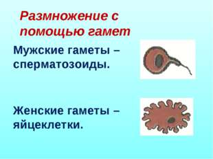Размножение с помощью гамет Мужские гаметы – сперматозоиды. Женские гаметы –