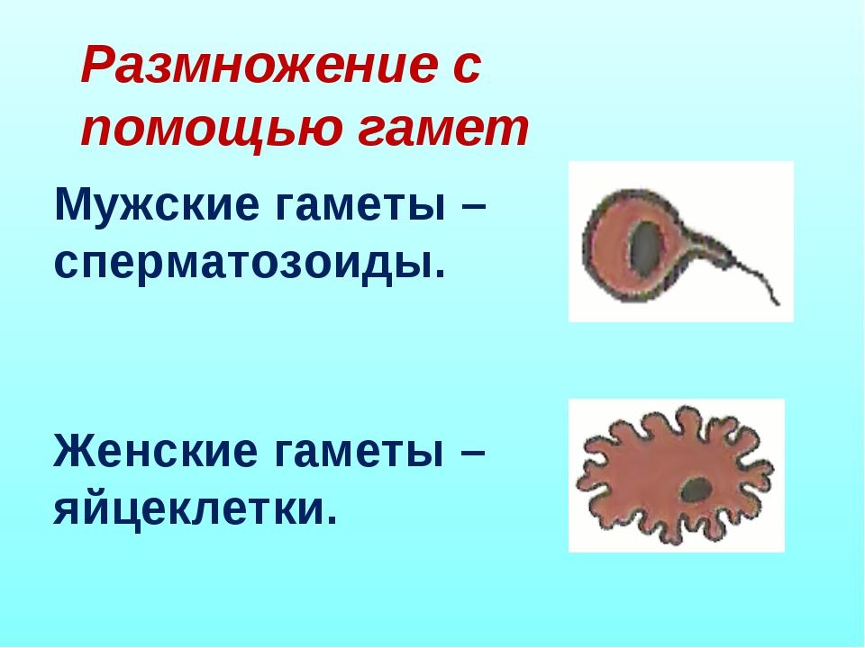 Размножение с помощью гамет Мужские гаметы – сперматозоиды. Женские гаметы –...