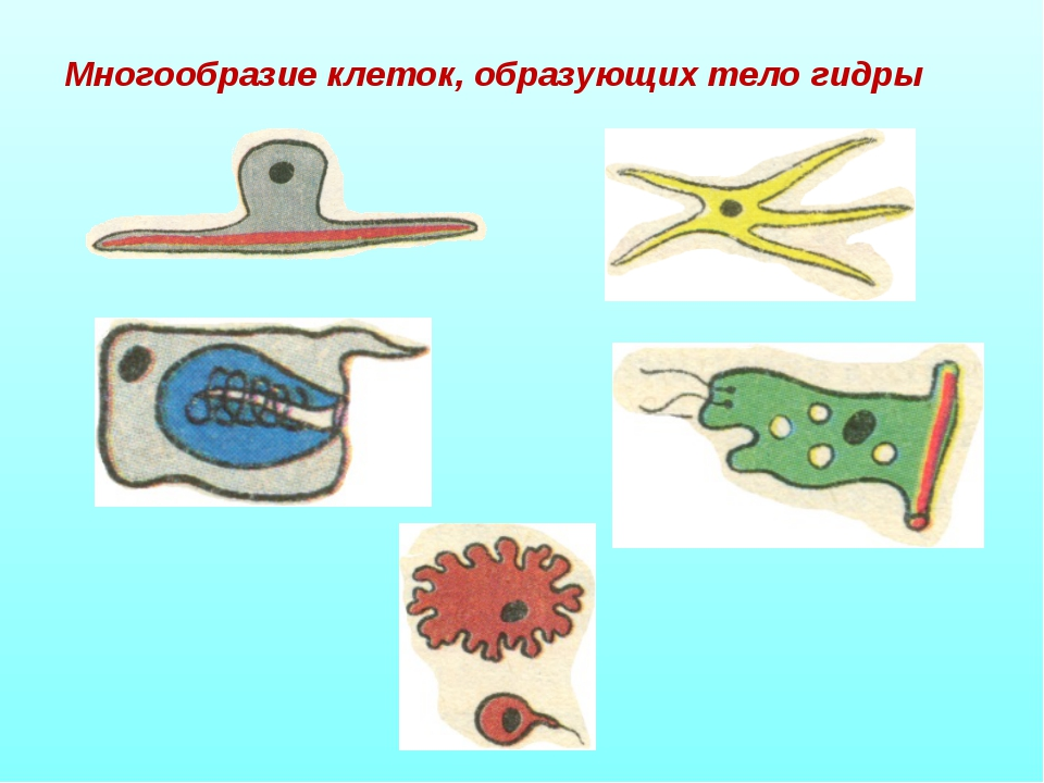 Многообразие клеток, образующих тело гидры