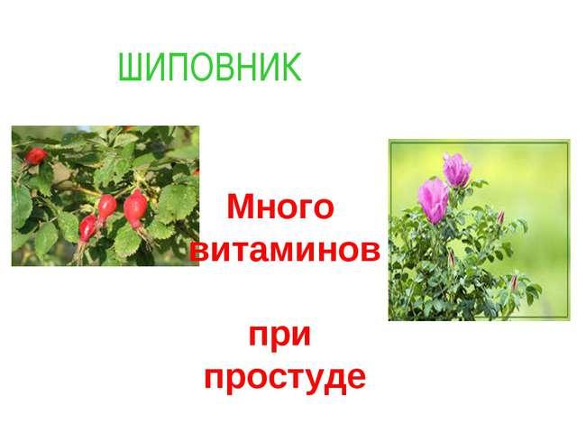 Много витаминов при простуде ШИПОВНИК