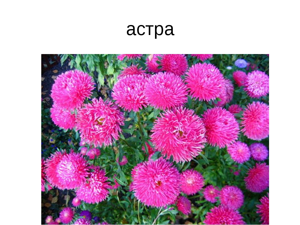 астра