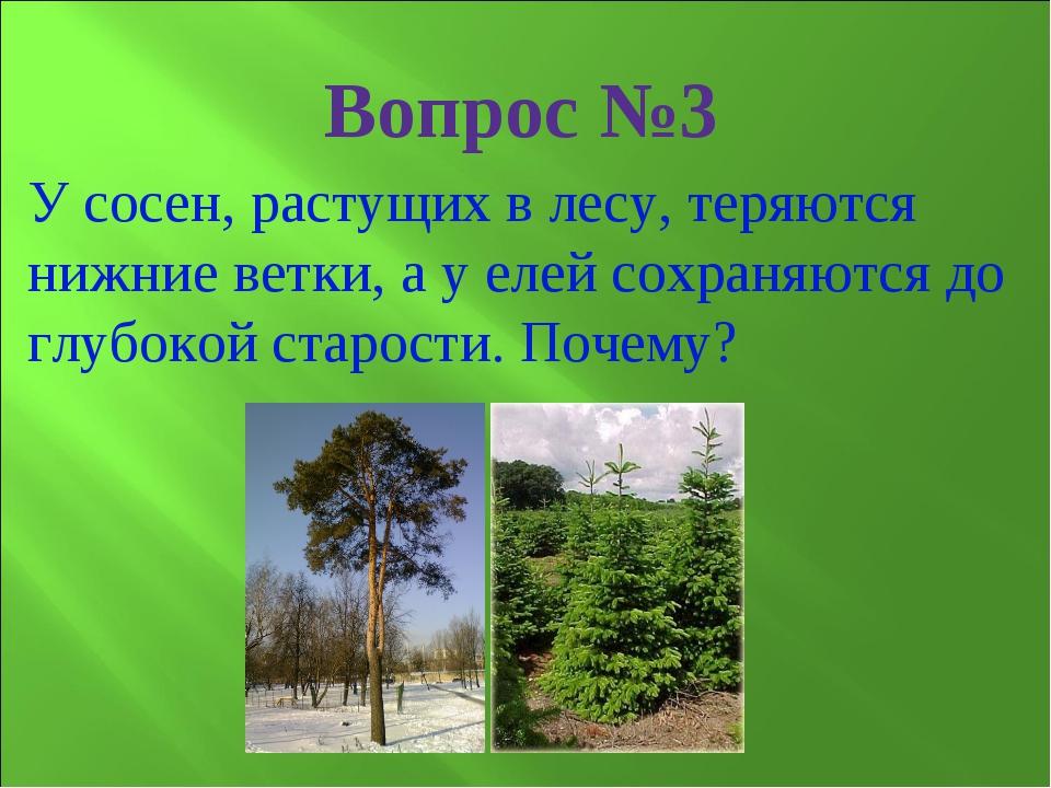 У сосен, растущих в лесу, теряются нижние ветки, а у елей сохраняются до глуб...