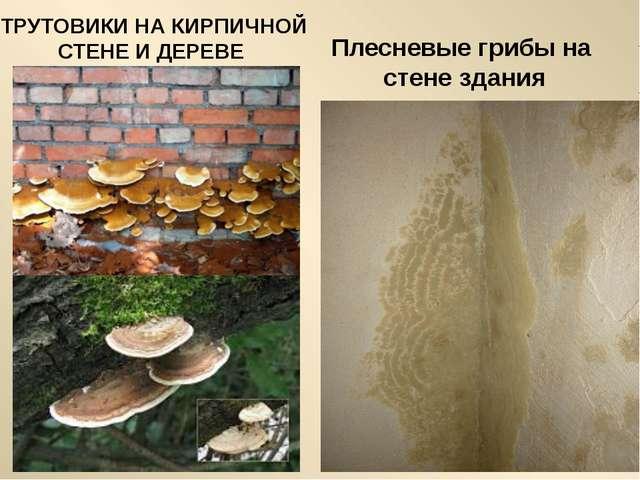 Плесневые грибы на стене здания ТРУТОВИКИ НА КИРПИЧНОЙ СТЕНЕ И ДЕРЕВЕ