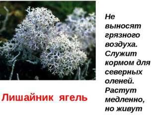 Лишайник ягель Не выносят грязного воздуха. Служит кормом для северных оленей