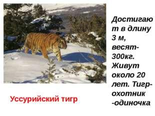 Уссурийский тигр Достигают в длину 3 м, весят-300кг. Живут около 20 лет. Тигр