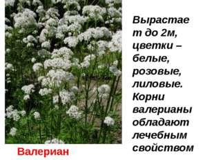 Валериана Вырастает до 2м, цветки –белые, розовые, лиловые. Корни валерианы о
