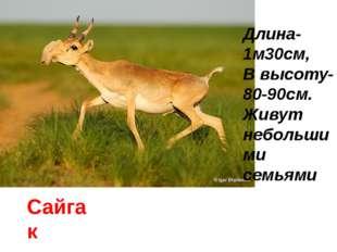 Сайгак Длина-1м30см, В высоту- 80-90см. Живут небольшими семьями