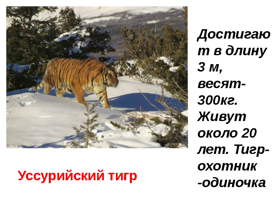 Уссурийский тигр Достигают в длину 3 м, весят-300кг. Живут около 20 лет. Тигр...