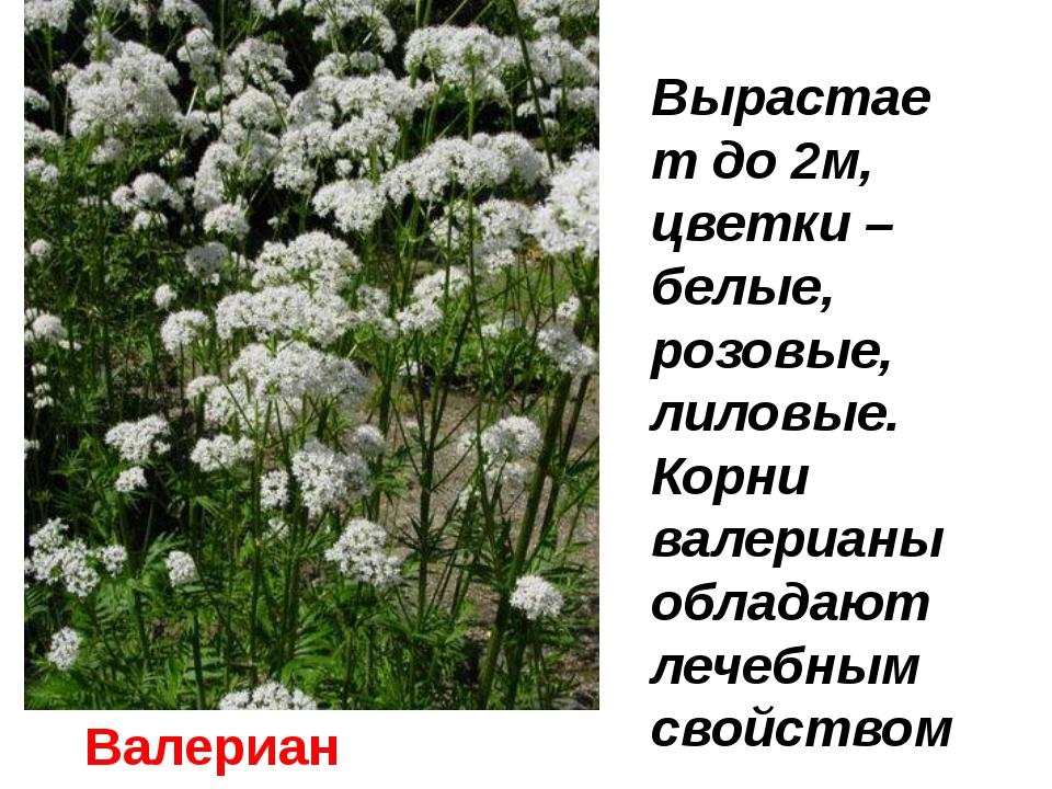 Валериана Вырастает до 2м, цветки –белые, розовые, лиловые. Корни валерианы о...