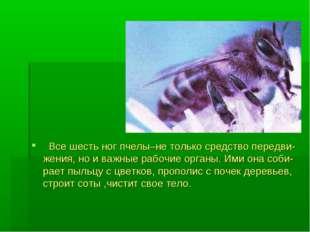 Все шесть ног пчелы–не только средство передви-жения, но и важные рабочие ор