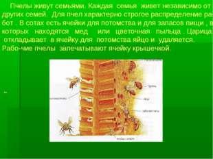 Пчелы живут семьями. Каждая семья живет независимо от других семей. Для пчел