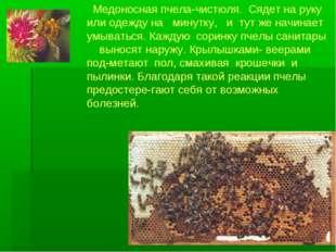 Медоносная пчела-чистюля. Сядет на руку или одежду на минутку, и тут же начи
