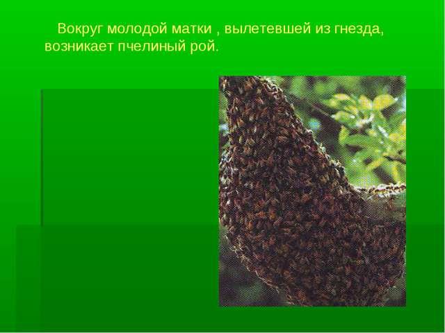 Вокруг молодой матки , вылетевшей из гнезда, возникает пчелиный рой.
