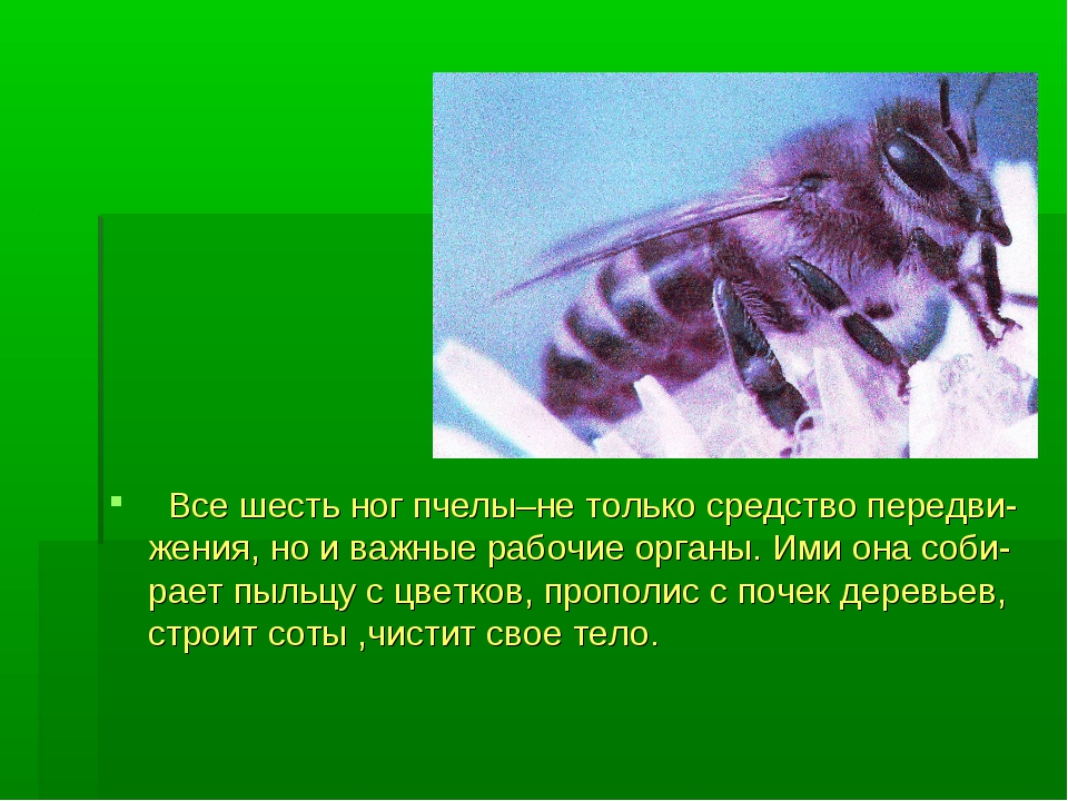 Все шесть ног пчелы–не только средство передви-жения, но и важные рабочие ор...