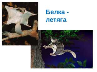 Белка - летяга
