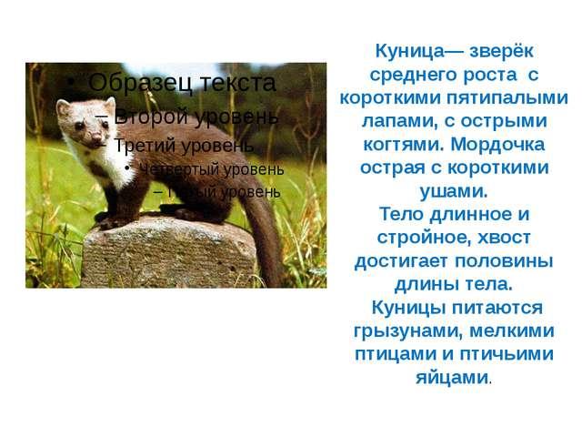 Куница— зверёк среднего роста с короткими пятипалыми лапами, с острыми когтя...