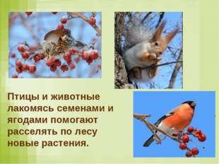 Птицы и животные лакомясь семенами и ягодами помогают расселять по лесу новые