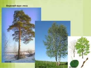 Верхний ярус леса сосна береза осина