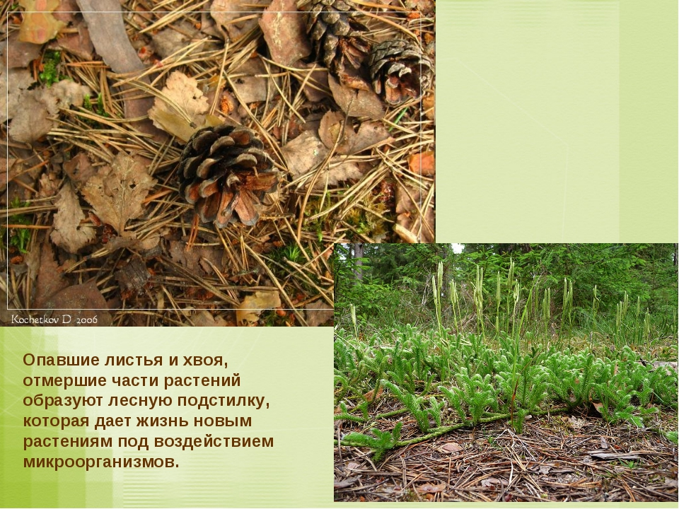 Опавшие листья и хвоя, отмершие части растений образуют лесную подстилку, кот...