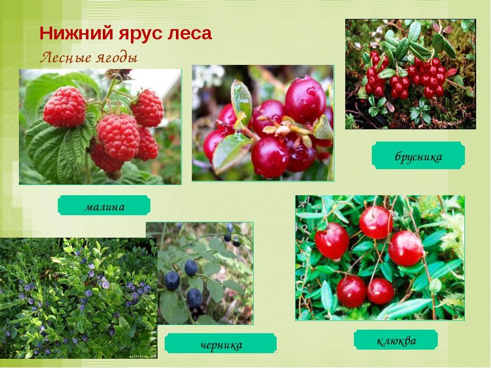 малина клюква черника брусника Нижний ярус леса Лесные ягоды