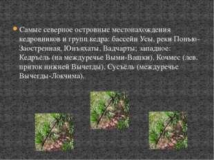 Самые северное островные местонахождения кедровников и групп кедра: бассейн У