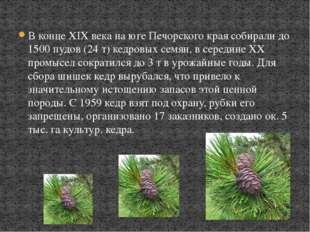 В конце XIX века на юге Печорского края собирали до 1500 пудов (24 т) кедровы