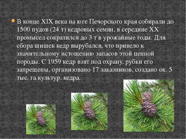 В конце XIX века на юге Печорского края собирали до 1500 пудов (24 т) кедровы...