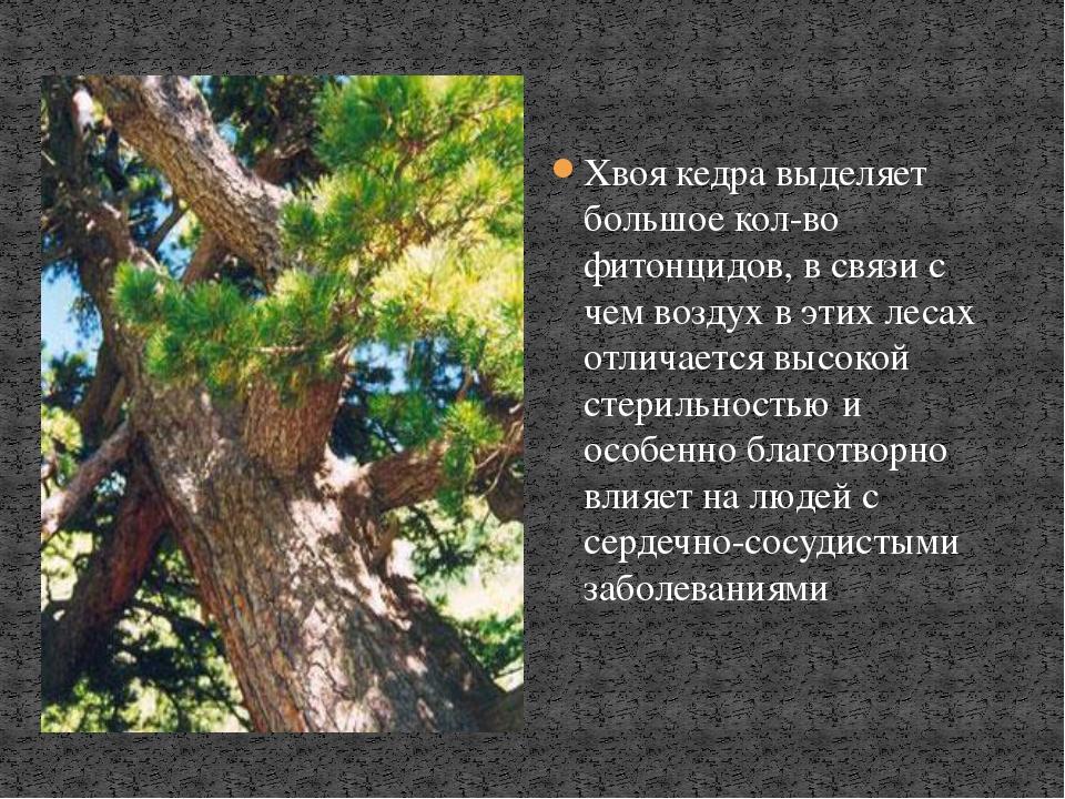 Хвоя кедра выделяет большое кол-во фитонцидов, в связи с чем воздух в этих ле...