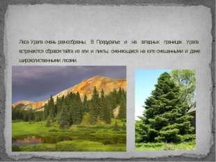 Леса Урала очень разнообразны. В Предуралье и на западных границах Урала встр