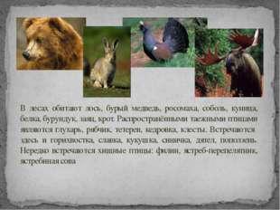 В лесах обитают лось, бурый медведь, росомаха, соболь, куница, белка, бурунду