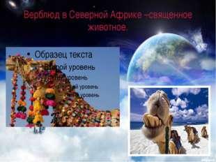 Верблюд в Северной Африке –священное животное.