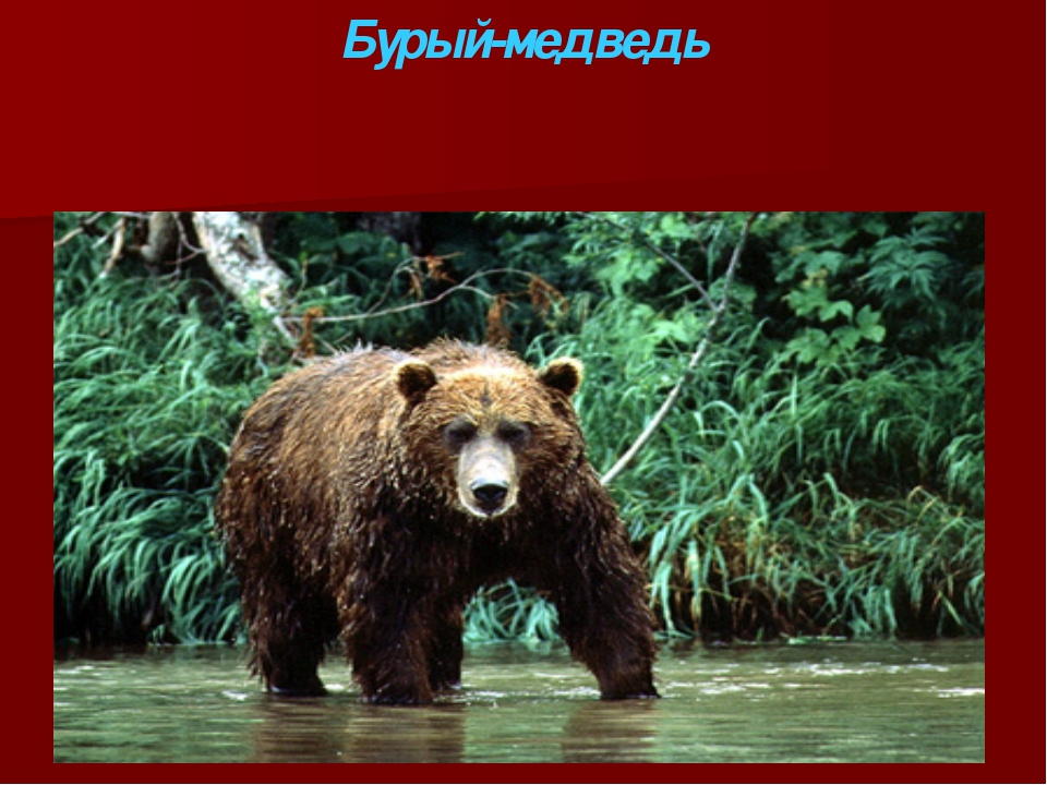 Бурый-медведь