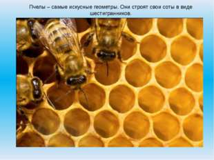 Пчелы – самые искусные геометры. Они строят свои соты в виде шестигранников.