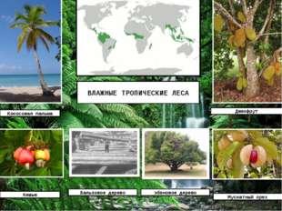 ВЛАЖНЫЕ ТРОПИЧЕСКИЕ ЛЕСА Кокосовая пальма Джекфрут Кешью Мускатный орех Бальз