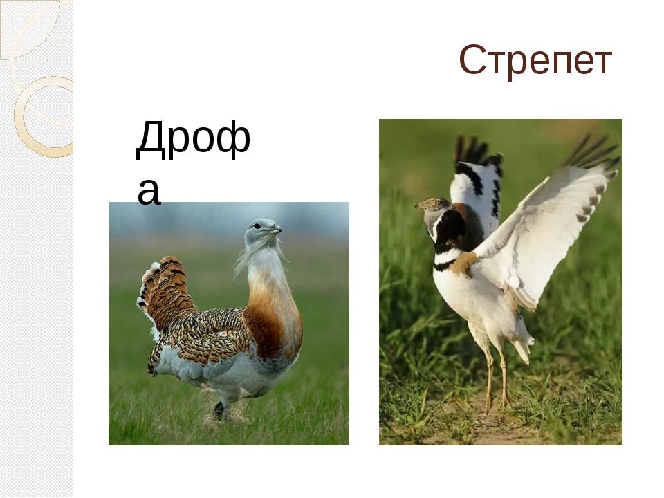 Стрепет Дрофа
