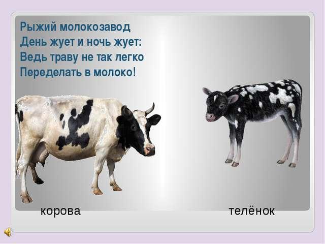 Рыжий молокозавод День жует и ночь жует: Ведь траву не так легко Переделать в...