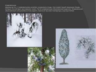 Можжевельник. Деревце до 8 м. У можжевельника на ветвях сохранились плоды. Он