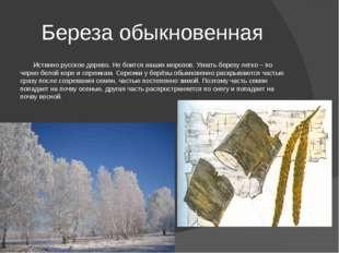 Береза обыкновенная Истинно русское дерево. Не боится наших морозов. Узнать б