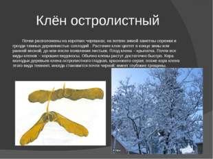 Клён остролистный Почки расположены на коротких черешках; на ветвях зимой зам