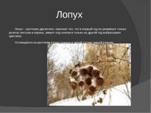 Лопух Лопух – растение двулетнее, означает это, что в первый год он развивает