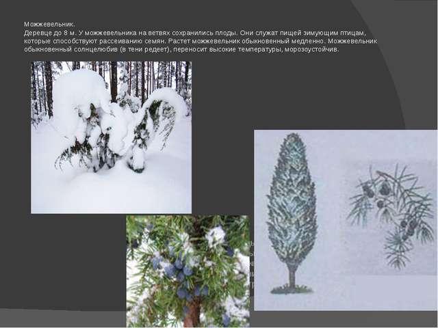 Можжевельник. Деревце до 8 м. У можжевельника на ветвях сохранились плоды. Он...