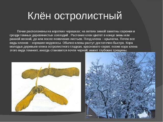 Клён остролистный Почки расположены на коротких черешках; на ветвях зимой зам...
