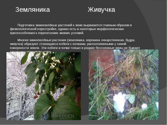 Земляника Живучка Подготовка зимнезелёных растений к зиме выражается главным...