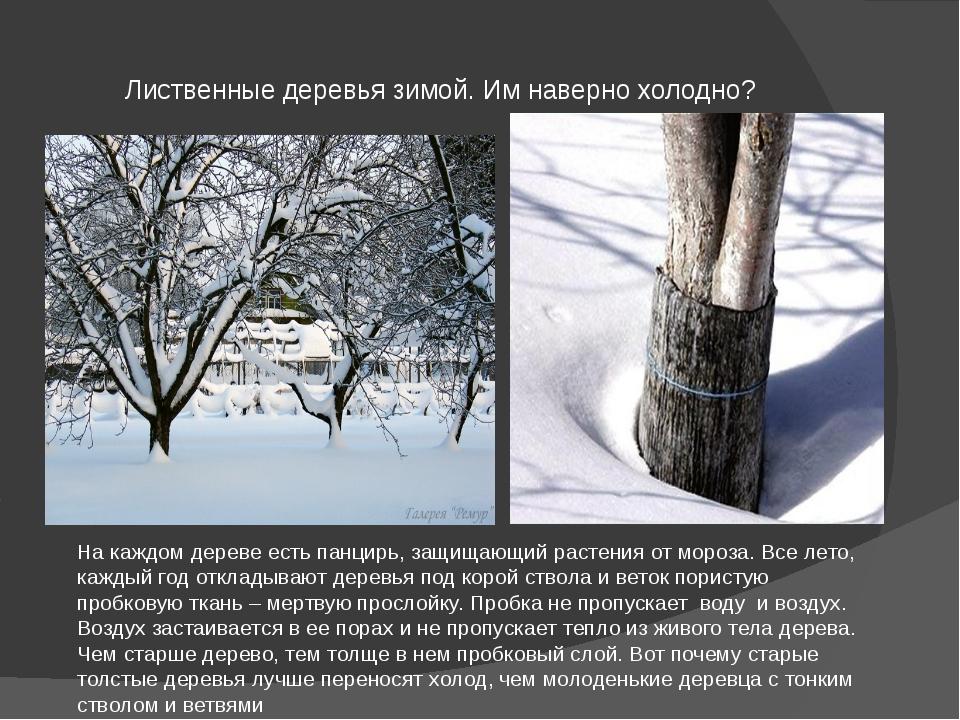 Лиственные деревья зимой. Им наверно холодно? На каждом дереве есть панцирь,...