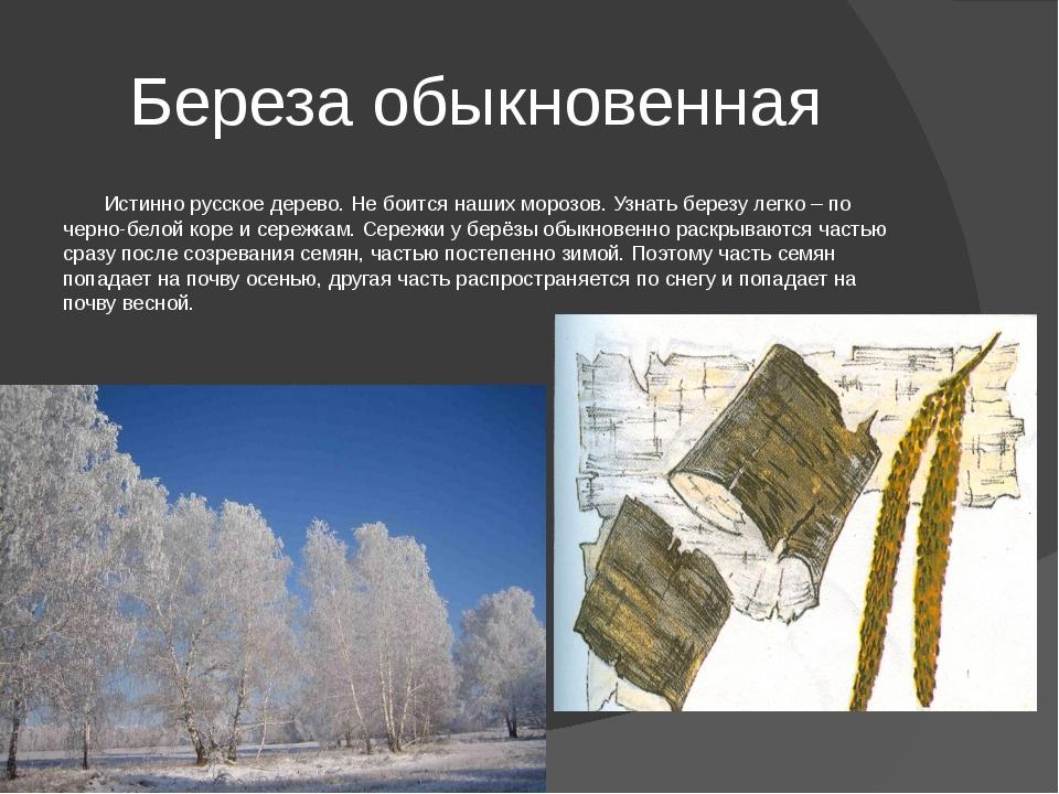 Береза обыкновенная Истинно русское дерево. Не боится наших морозов. Узнать б...