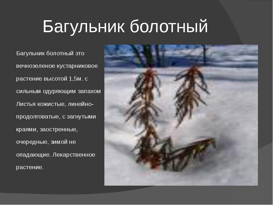 Багульник болотный Багульник болотный это вечнозеленое кустарниковое растение...