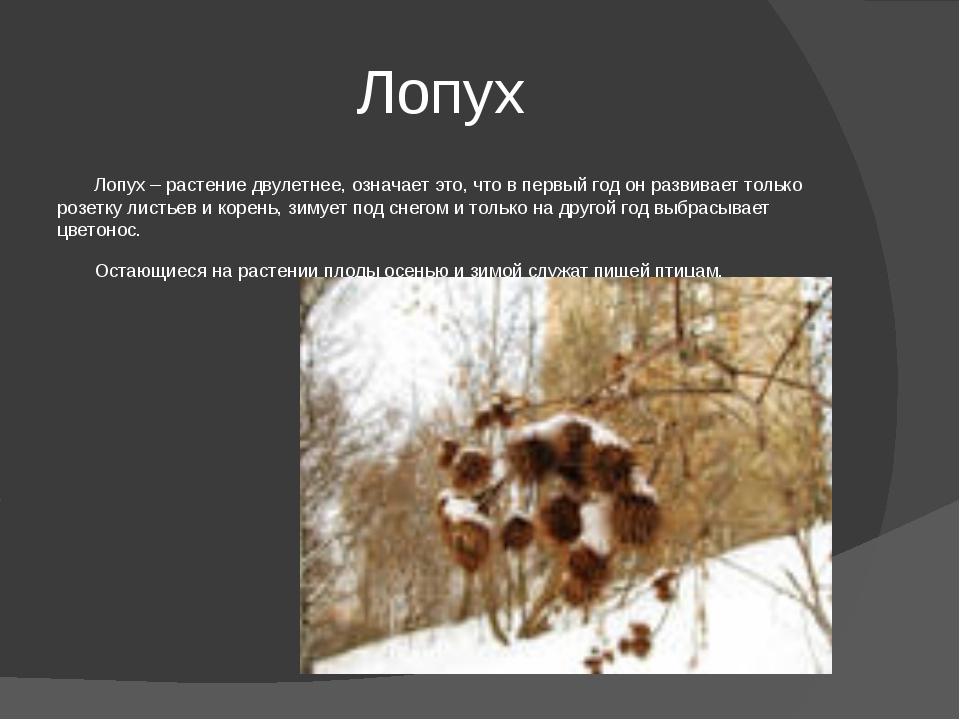 Лопух Лопух – растение двулетнее, означает это, что в первый год он развивает...