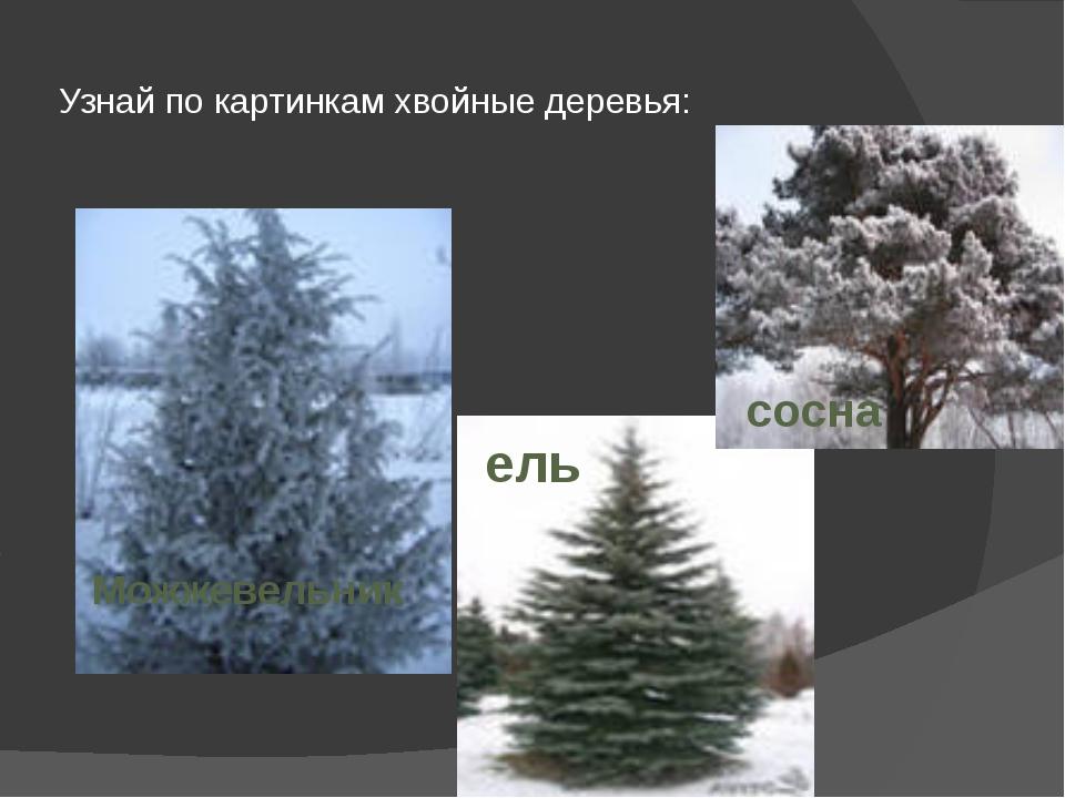 Узнай по картинкам хвойные деревья: сосна ель Можжевельник