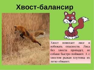 Хвост-балансир Хвост помогает лисе и избежать опасности. Лиса без хвоста проп